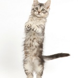 Silver tabby kitten standing up on his hind legs