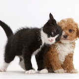Black-and-white kitten rubbing goldendoodle puppy