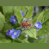 Black-and-red Squash Bug