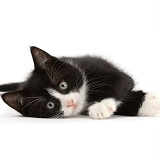 Black-and-white kitten lying on his side