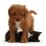 Black-and-white kitten playing with Cavapoo puppy