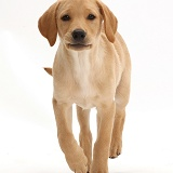 Yellow Labrador puppy, 11 weeks old, walking