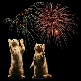 Ginger kittens and fireworks