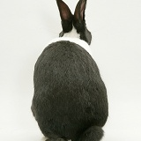 Black-and-white Dutch rabbit from behind