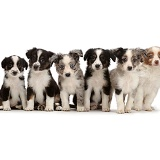 Six Mini American Shepherd puppies sitting in a row