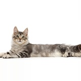 Silver tabby kitten lying spread out and and relaxing