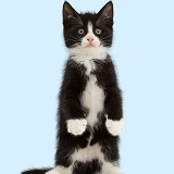 Black-and-white kitten standing like a meerkat