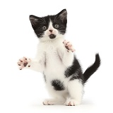 Black-and-white kitten doing jazz hands