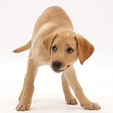 Yellow Labrador puppy, 11 weeks old