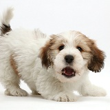 Jack Russell x Bichon puppy playfully barking