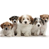 Five Jack Russell x Bichon puppies sitting in a row