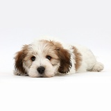 Jack Russell x Bichon puppy lying with chin on the floor