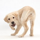 Yellow Labrador Retriever puppy turning round