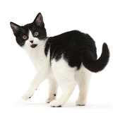 Black-and-white kitten turning looking over her shoulder