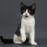 Black-and-white kitten on grey background