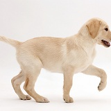 Yellow Labrador Retriever puppy walking