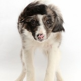 Papillon x Collie dog, shaking