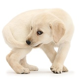 Yellow Labrador Retriever puppy catching tail