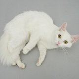 White cat lying on grey background