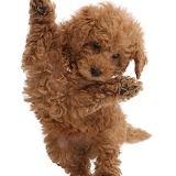Red Toy labradoodle puppy jumping up
