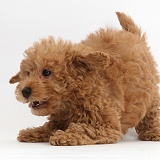 Red Toy labradoodle puppy in play-bow