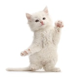 White kitten dancing