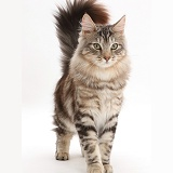 Silver tabby fluffy cat standing with tail erect