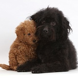 Black Labradoodle mother and puppy