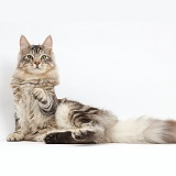 Silver tabby cat, pointing