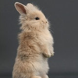 Young rabbit standing up on grey background