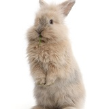 Young rabbit standing up