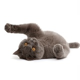 Blue British Shorthair cat lying on his back