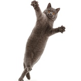 Blue British Shorthair cat leaping with outstretched arms