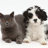 Blue British Shorthair cat & black-and-white Cavapoo pup