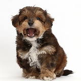 Cavapoo puppy with open mouth