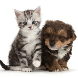 Silver tabby kitten with Cavapoo puppy