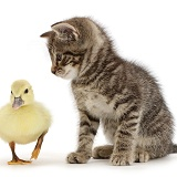 Tabby kitten looking at yellow duckling
