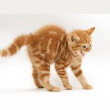 Red tabby British Shorthair kitten in defensive posture