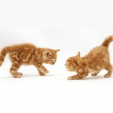 Red tabby British Shorthair kittens defensive aggressive