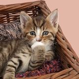Bashful tabby kitten in wool basket