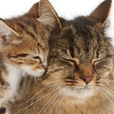 Tabby mother cat and kitten