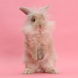 Fluffy bunny standing on pink background