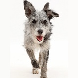 Blue merle mutt trotting