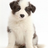Blue-and-white Border Collie puppy sitting