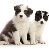 Two Border Collie puppies sitting