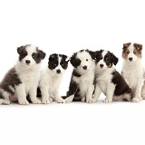 Four Border Collie puppies sitting in a row