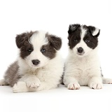 Two Border Collie puppies