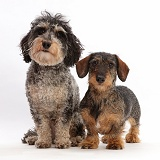 Daxie-doodle dog and wire-haired Dachshund