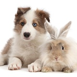 Sable-and-white Border Collie puppy with fluffy bunny