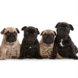 Four French Bulldog puppies, 5 weeks old